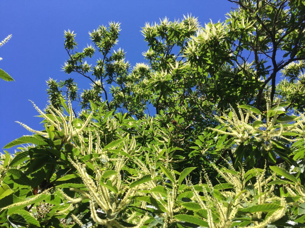 Castaños en floración